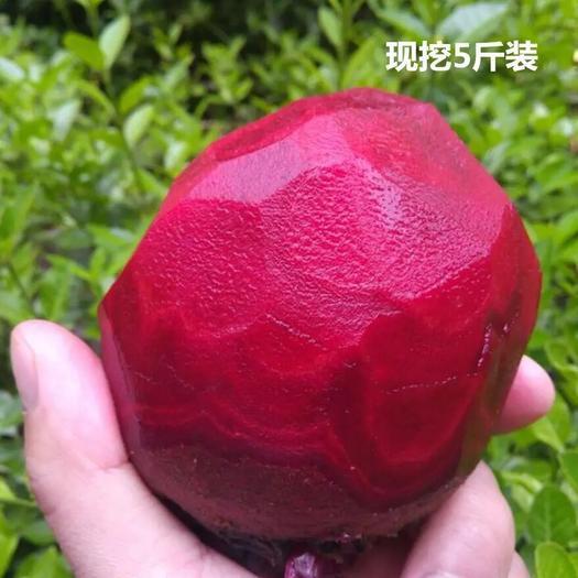 江蘇省徐州市沛縣甜菜根 15~20cm