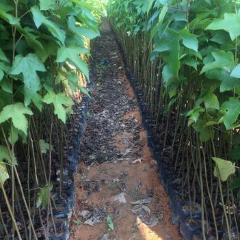 枫香苗 20-100公分高