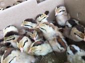 瑤雞苗 養殖效益好