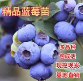藍豐藍莓苗 帶土球 帶花帶果 一棵包郵