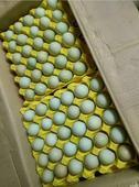 綠殼雞蛋 箱裝 食用 大碼雙色綠殼蛋凈重44斤左右