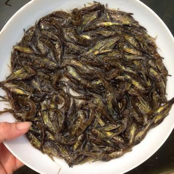 杂交黄骨鱼 黄顙鱼苗批发
