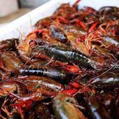潜江小龙虾 7-9钱 稻田虾