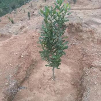 桂熱一號夏威夷果苗 0.5~1.0米