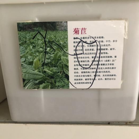 江蘇省宿遷市沭陽縣菊苣 種子