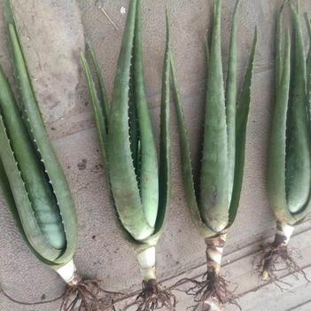 库拉索芦荟 8~10cm