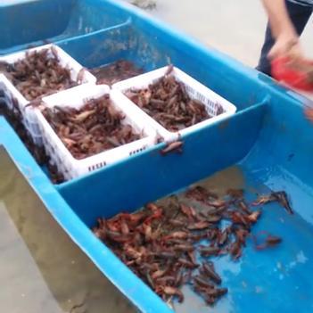 潛江小龍蝦 硬規格9.5以上炮頭,肉質細嫩飽滿