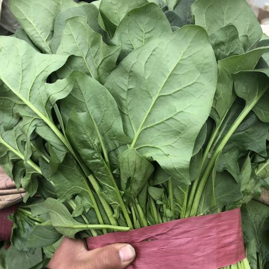河北省邯郸市丛台区 市场精品好菠菜大量有货