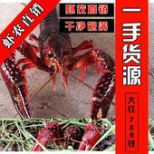 紅殼小龍蝦 蝦農自養直發 一手價格 包郵