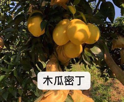 廣東省梅州市梅縣區柳橙苗 杯苗袋苗 0.5米以下