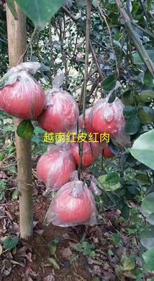 廣東省梅州市梅縣區越南紅皮紅肉柚