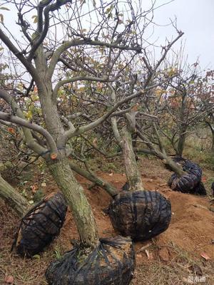 四川省成都市簡陽市黃金梨樹苗 3~3.5米