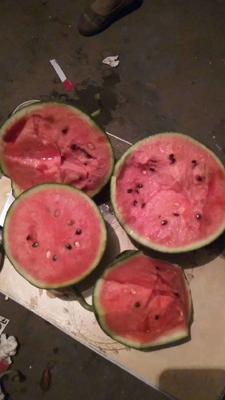 山東省濰坊市壽光市甜王西瓜 9成熟 1茬 8斤打底 有籽