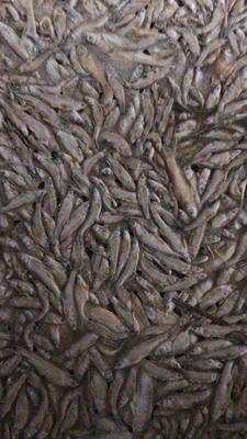 江西省上饒市鄱陽縣飼料魚