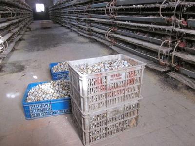 廣西壯族自治區北海市海城區土鵪鶉蛋 散裝 食用