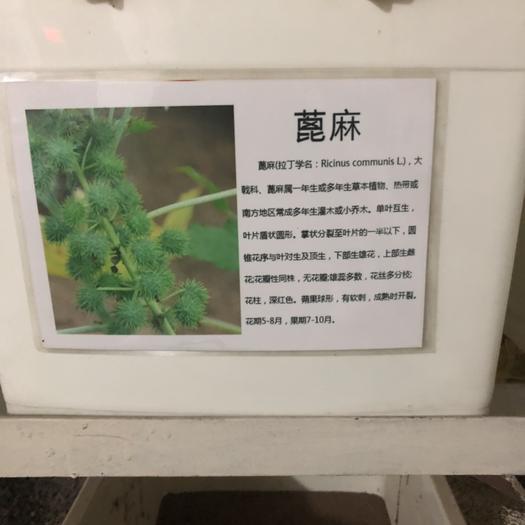 江苏省宿迁市沭阳县蓖麻种子
