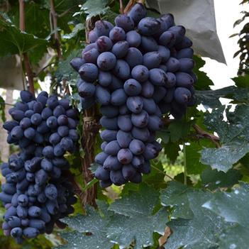 紫甜无核A17葡萄苗 明年挂果保证纯度免费技术支持