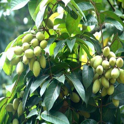 廣西壯族自治區欽州市靈山縣青橄欖苗