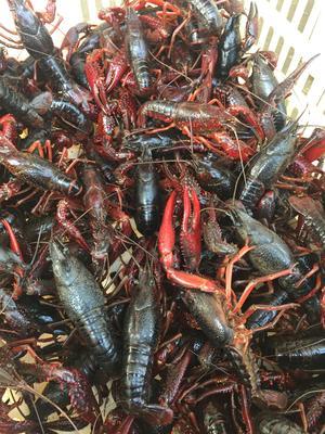 江蘇省泰州市興化市興化小龍蝦 人工養殖 7-9錢