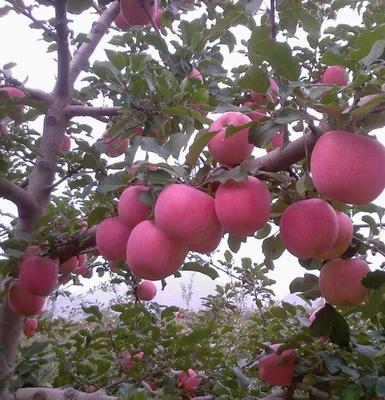 四川省成都市成華區 靜寧蘋果紅富士蘋果  脆甜新鮮好吃