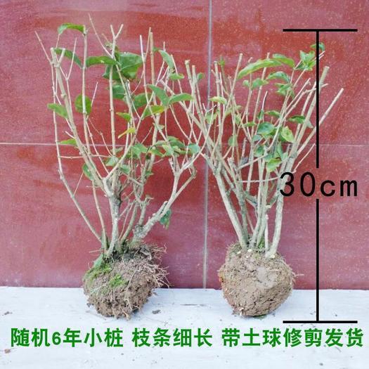 广东省广州市荔湾区茉莉花苗 五种花种  可选  四年苗  买一送一