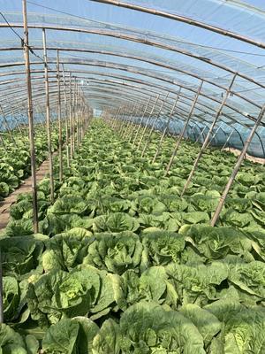 遼寧省錦州市黑山縣 幾十萬斤大白菜預售