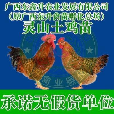 廣西壯族自治區欽州市欽南區 靈山麻土雞苗——承諾無假貨單位
