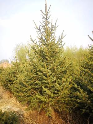 吉林省長春市農安縣 自己地里種植的云杉苗,1-3.5米不等,價格優惠,需要聯系