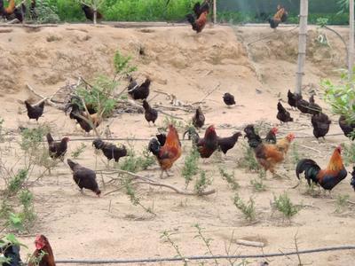 廣東省惠州市惠城區 閹雞