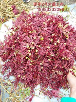 重慶涪陵區紅油香椿芽 紅油香椿、每年二月份大量上市、純天然生長