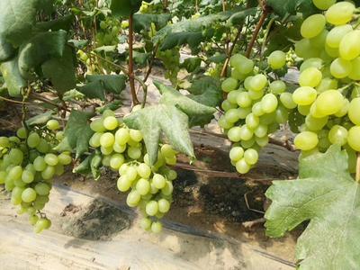 河北省衡水市饒陽縣維多利亞葡萄 1-1.5斤 10%以下 1次果