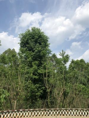 四川省成都市雙流縣 30公分以上香樟