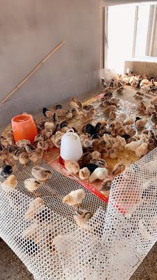 遼寧省錦州市黑山縣土雞苗 長年大批量出售溜達雞