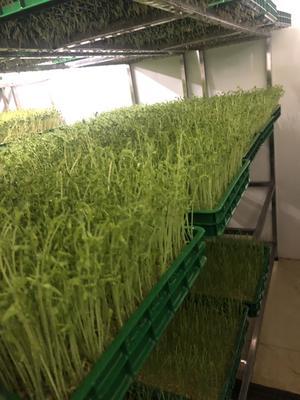 云南省文山壯族苗族自治州文山市花生芽 三零產品,無公害綠色芽苗蔬菜
