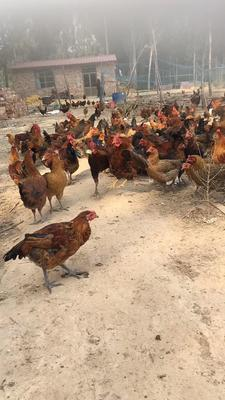 河北省邢臺市清河縣 土雞蛋,純天然,午任何飼料,質量保證