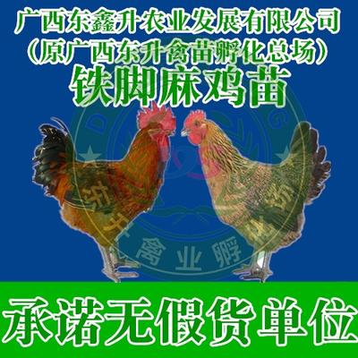 廣西壯族自治區欽州市欽南區 青腳麻雞苗——承諾無假貨單位
