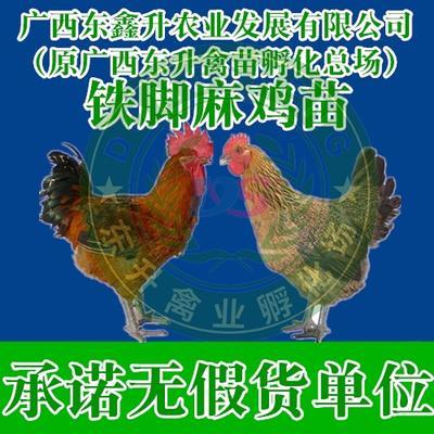 廣西壯族自治區南寧市西鄉塘區 青腳麻雞苗——承諾無假貨單位