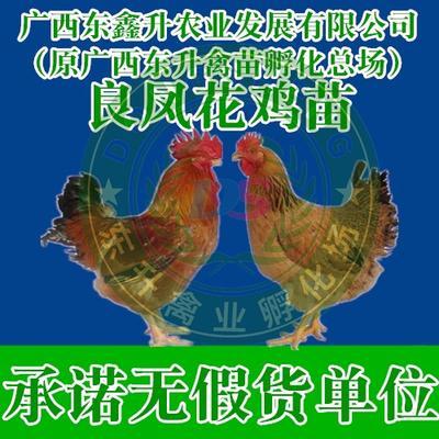 廣西壯族自治區南寧市西鄉塘區 良鳳花雞苗——專業孵化20年