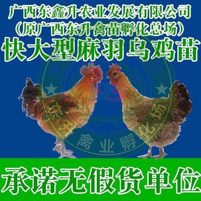 廣西壯族自治區南寧市西鄉塘區 快大型麻羽烏雞苗——承諾無假貨單位