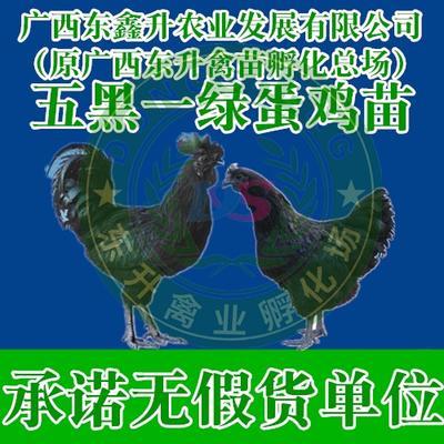 廣西壯族自治區南寧市西鄉塘區 五黑一綠雞苗——承諾無假貨單位