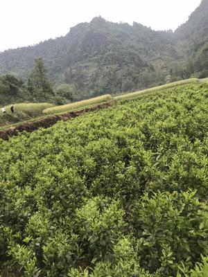 湖南省湘西土家族苗族自治州鳳凰縣紅美人柑橘苗 嫁接苗 0.2米以下