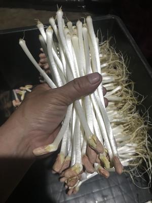 廣西壯族自治區欽州市欽南區花生芽 袋裝 溫室