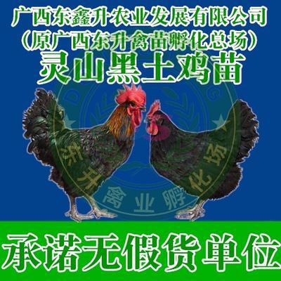 廣西壯族自治區南寧市西鄉塘區 黑雞苗——承諾無假貨單位