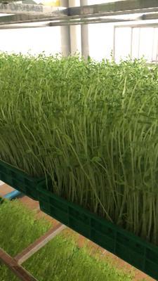 云南省文山壯族苗族自治州文山市豌豆苗 芽苗蔬菜,花生芽