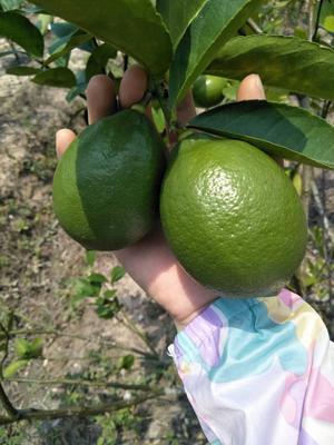 海南省海口市龍華區尤力克檸檬 農戶直銷,有機種植。