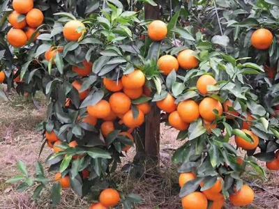 廣西壯族自治區玉林市容縣091無核沃柑苗 嫁接苗 0.5~1米