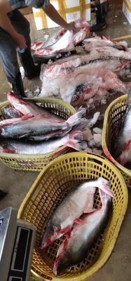 廣西壯族自治區防城港市東興市冷凍巴沙魚