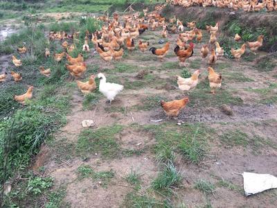 廣東省河源市紫金縣土雞 原生態全散養,吃雜糧,野草,喝山泉水,六個月以上