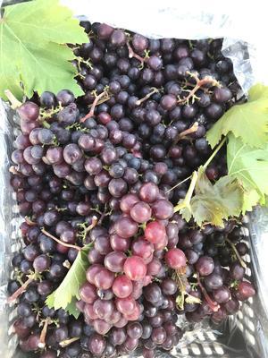 河北省唐山市樂亭縣 大量玫瑰香葡萄