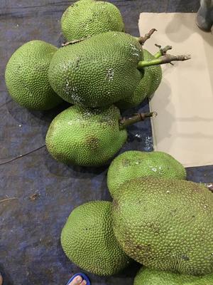 廣西壯族自治區崇左市憑祥市 泰國黃肉菠蘿蜜15-30斤